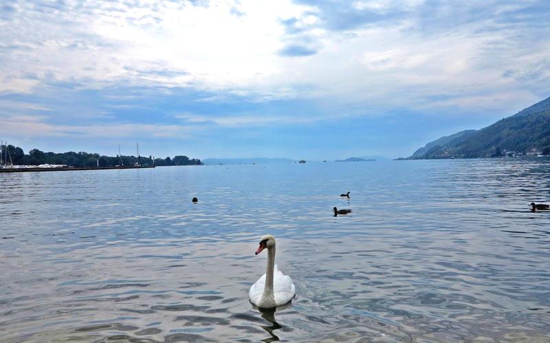 Urlaub am Bielersee - Schwan im See